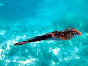 cuttlefish snorkelling turkey
